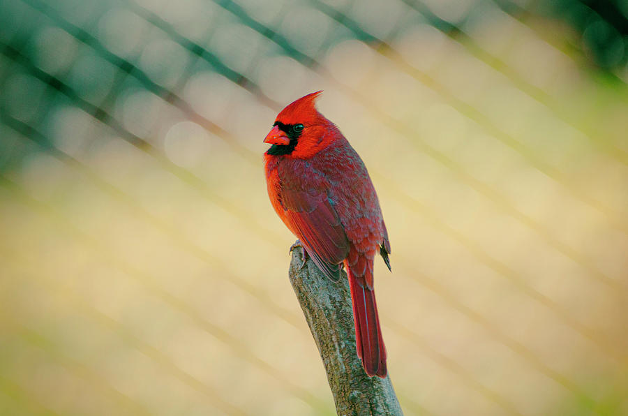 Cardinal Photograph - Red Cardinal by Jim Cook