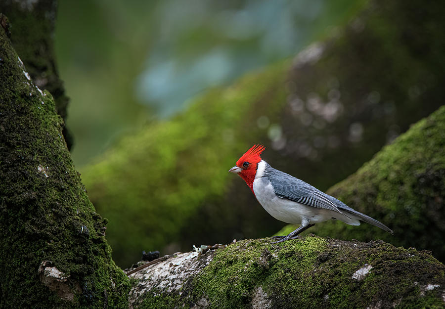Red Crested Cardinal by Rick Mosher
