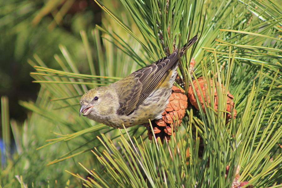 Red Crossbill Female In Pine Photograph