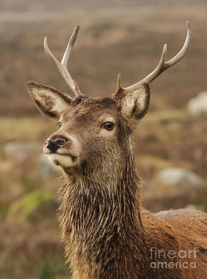 Red Deer Photograph