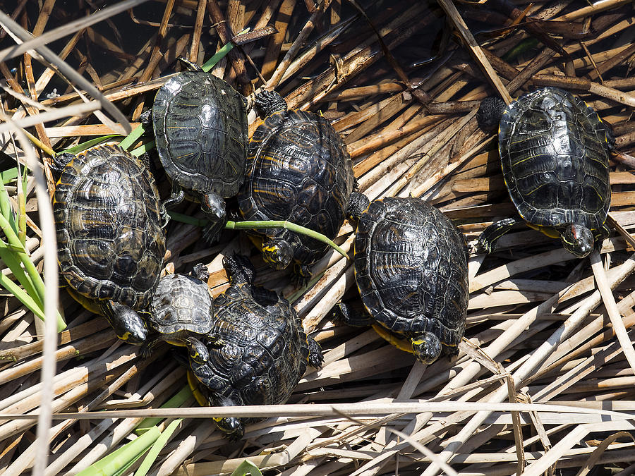 Red-eared sliders / red-eared terrapins (Trachemys scripta elegans / Pseudemys scripta elegans / Emys elegans) group resting on log in lake Photograph by Jose A. Bernat Bacete