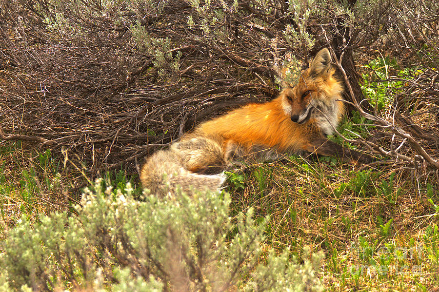 Red Fox Camouflage  by Adam Jewell