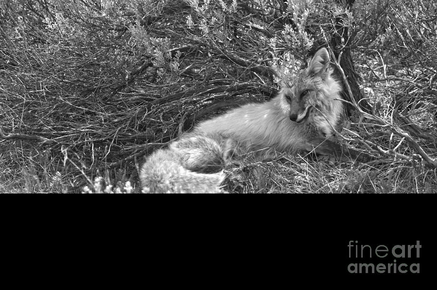 Red Fox Camouflage Black And White by Adam Jewell