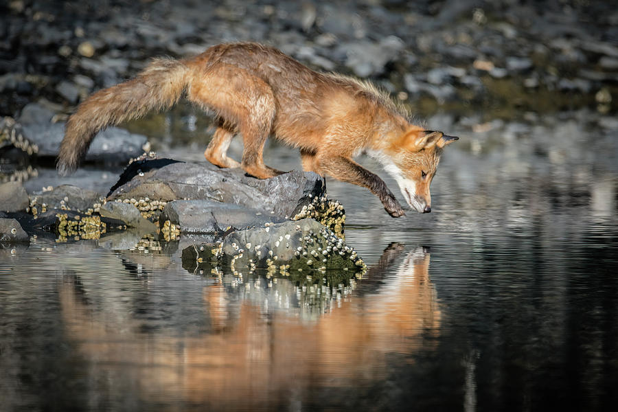 Red Fox Reflection by James Capo