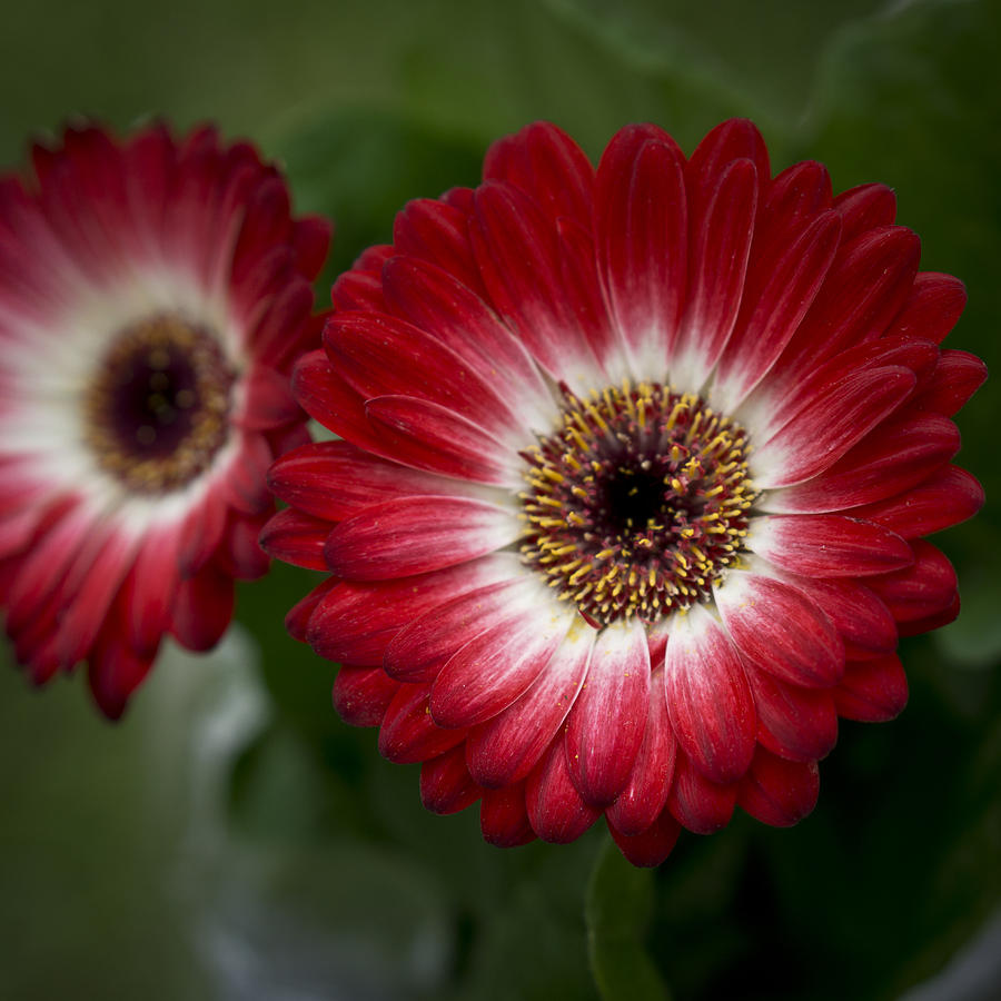 Red gerberas Photograph by Andrea Rapisarda Photography