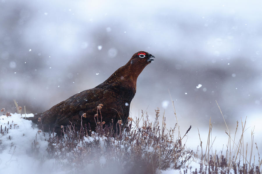 Red Grouse Photograph - Red Grouse by Laura J P Richardson