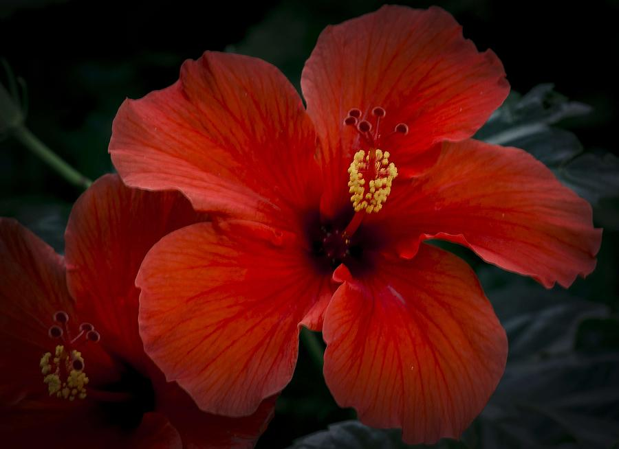 Red Hibiscus Close Up Photograph