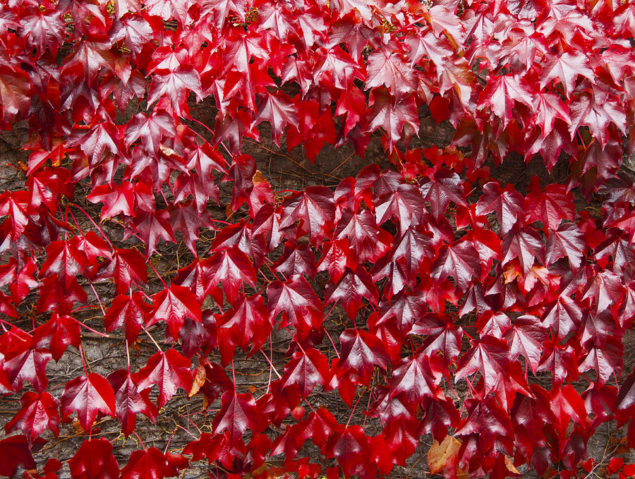 Red Ivy ( Virginia creeper ) leaves on brick wall in the Fall Photograph by Lyn Holly Coorg