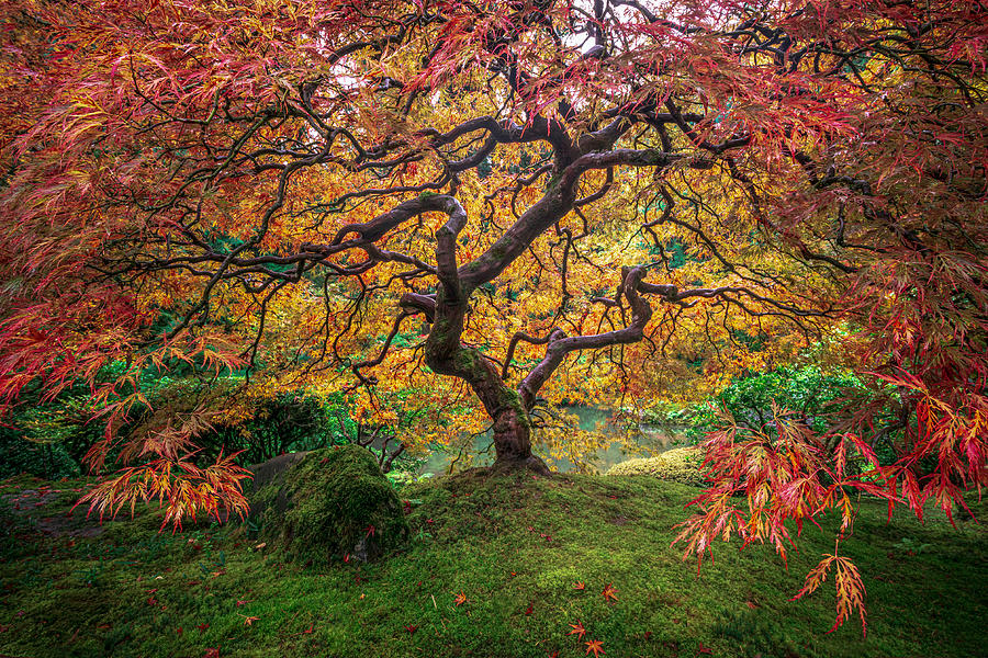 Red Japanese Maple by Ryan Smith