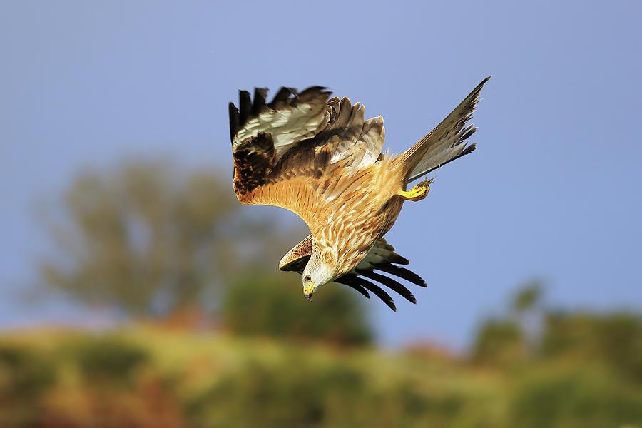 Bird In Flight Photograph - Red Kite diving by Grant Glendinning