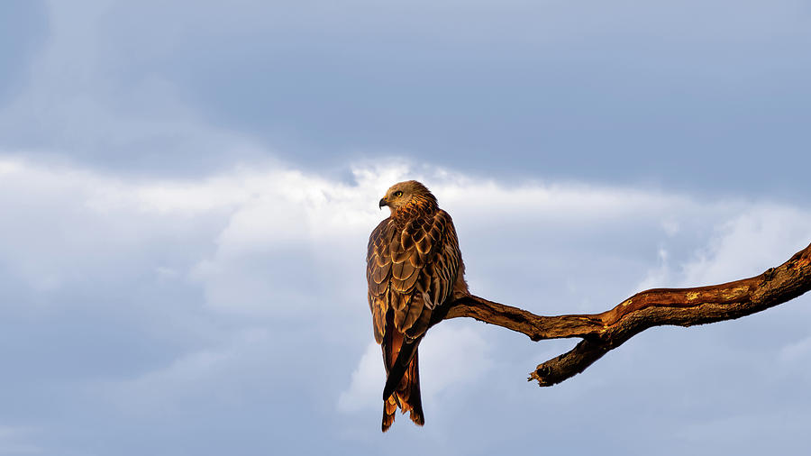 Landscape Photograph - Red Kite by Framing Places