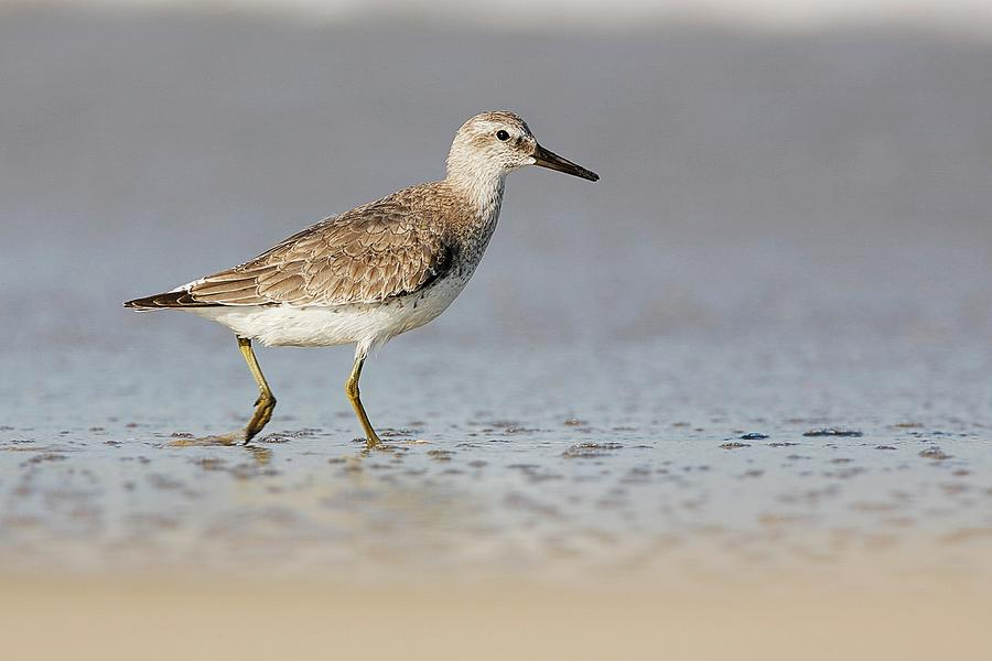 Red Knot Winter Plumage Photograph
