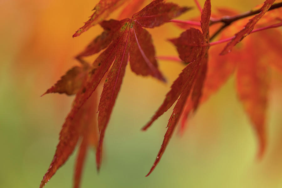 Red Leaves of Japanese Maple by Robert Potts
