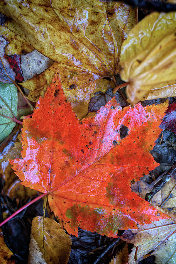 Red Maple Leaf by Rick Berk