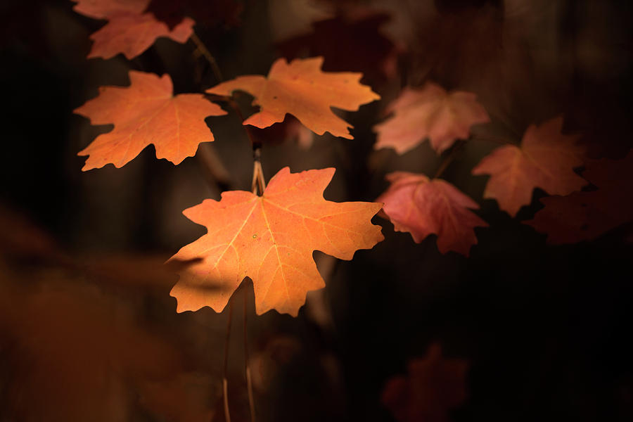 Red Maples by Sue Cullumber
