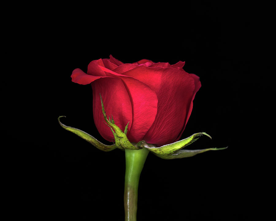 Rose Photograph - Red on Black by R Scott Duncan