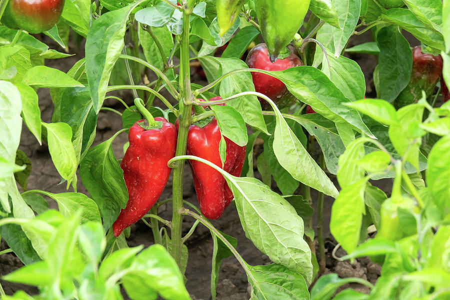 Red Organic Peppers Growing In The Garden Photograph