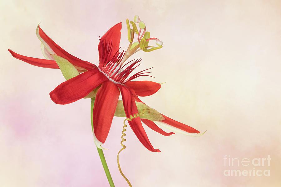 Red Passion Passiflora Photograph