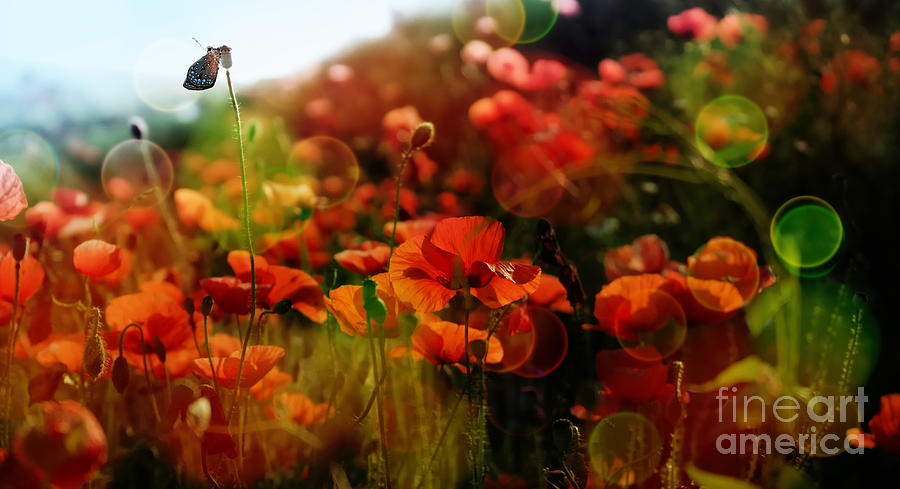 Red Poppies With Bokeh Photograph