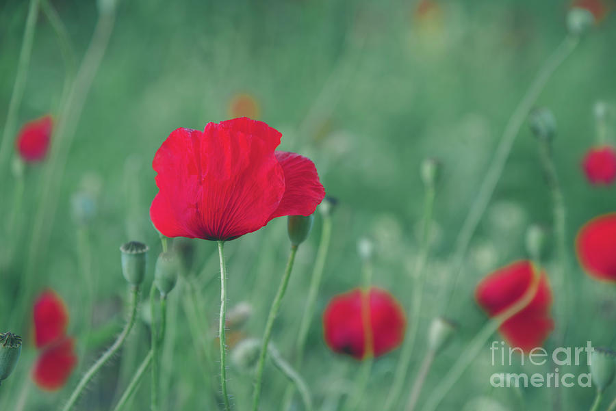 Red poppy flower on green background by Jelena Jovanovic