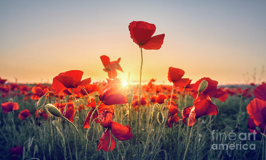 Background Photograph - Red Poppy Flowers Field by Facto Foto