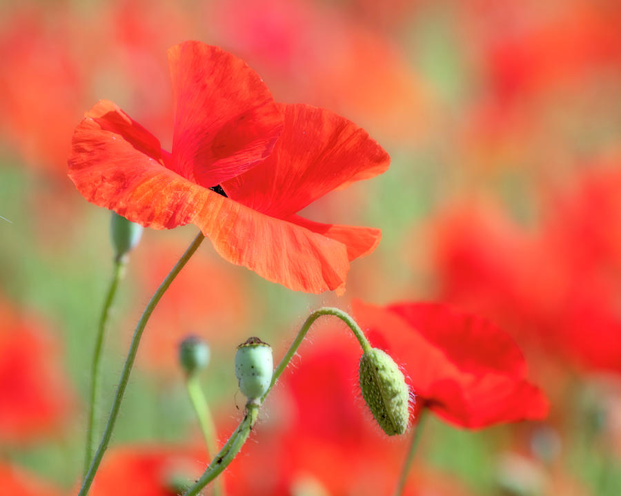 Red Photograph - Red Poppy II by Catherine Avilez