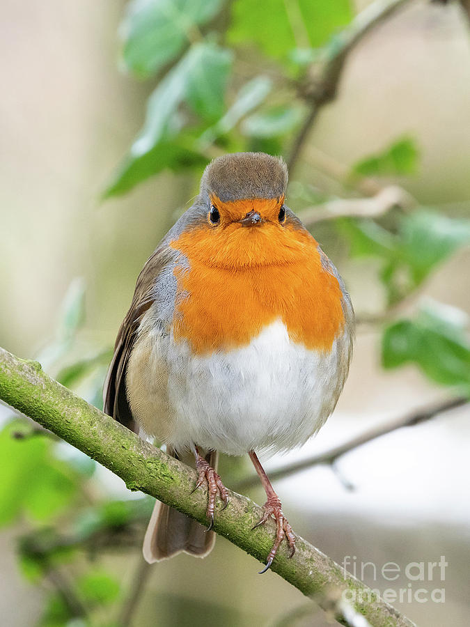 Red Robin At Carr Mill Dam, St Helens Photograph
