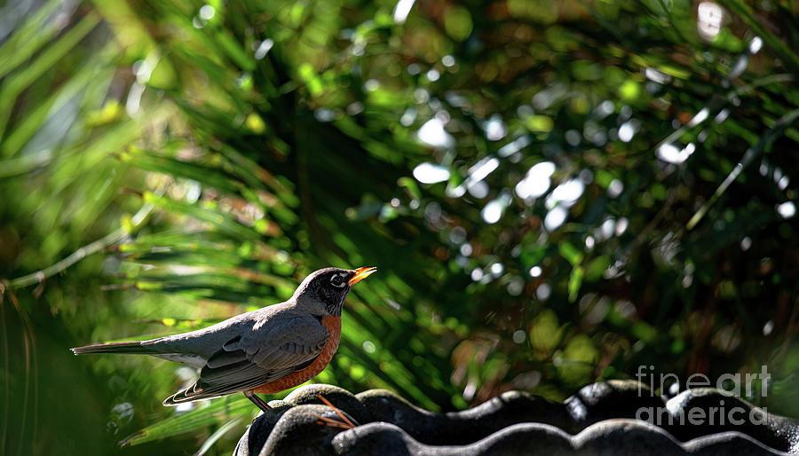Red Robin - Bird Feeder Photograph