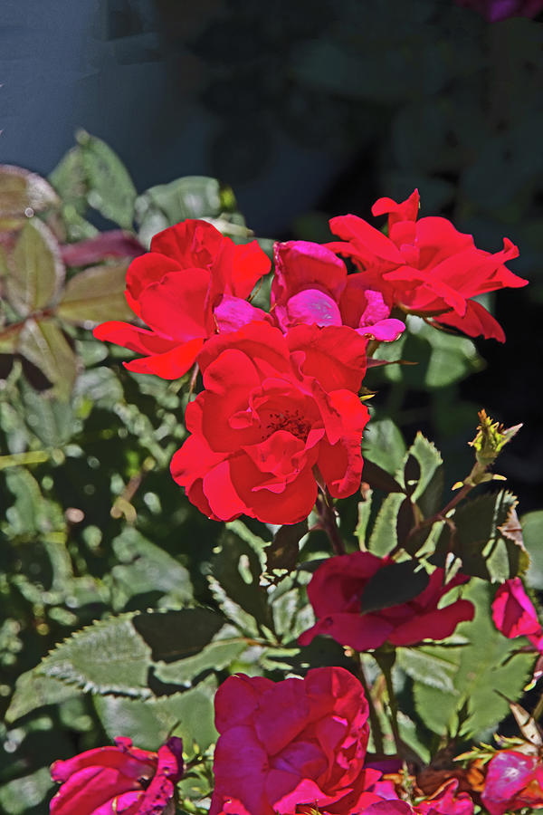 Red Rose Black Background Green Foliage 2 7252020 0674 Photograph by David Frederick