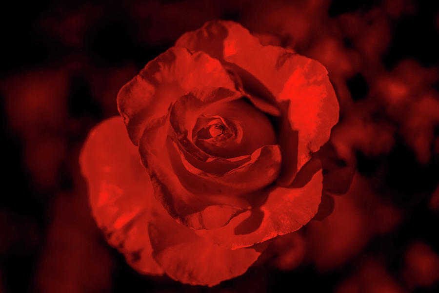 Rose Photograph - Red Rose by Jesse Chaidez