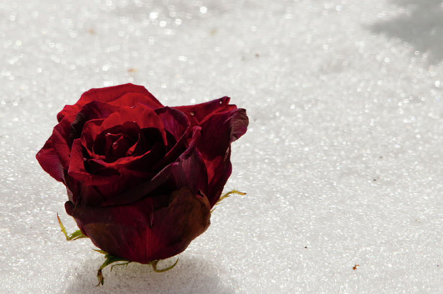 Red Rose Walking in the Snow by Lieve Snellings