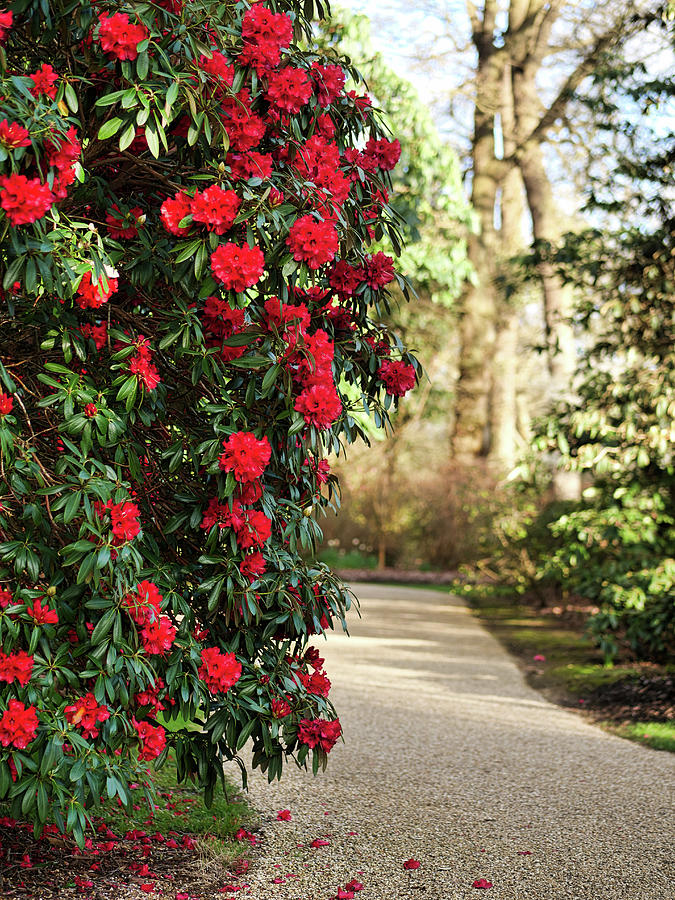 Red Roses And The Long Path Photograph