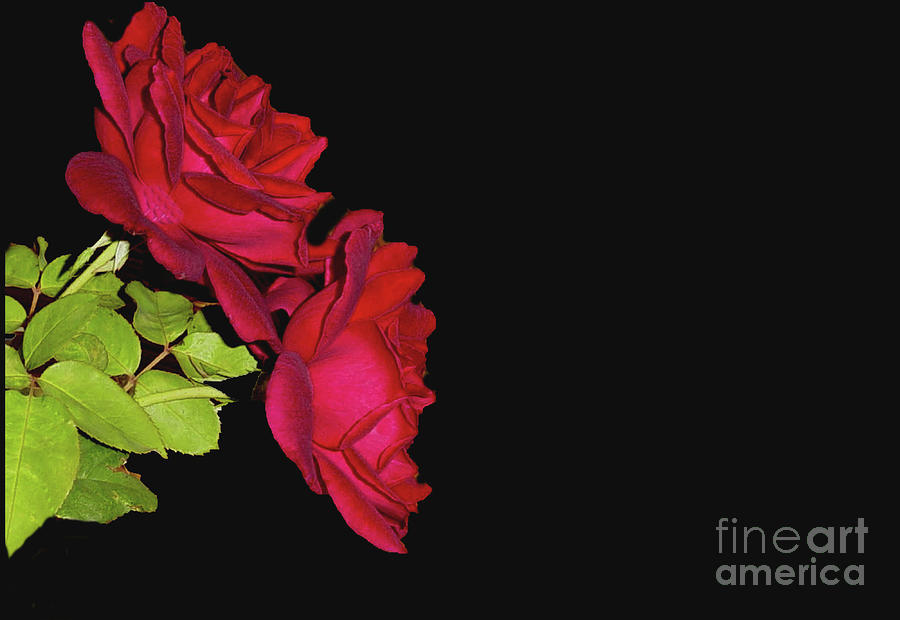 Red Roses on Black Background by Janette Boyd