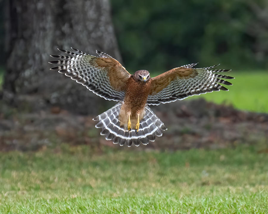 Red-shouldered Hawk Attack Photograph by Larry Maras