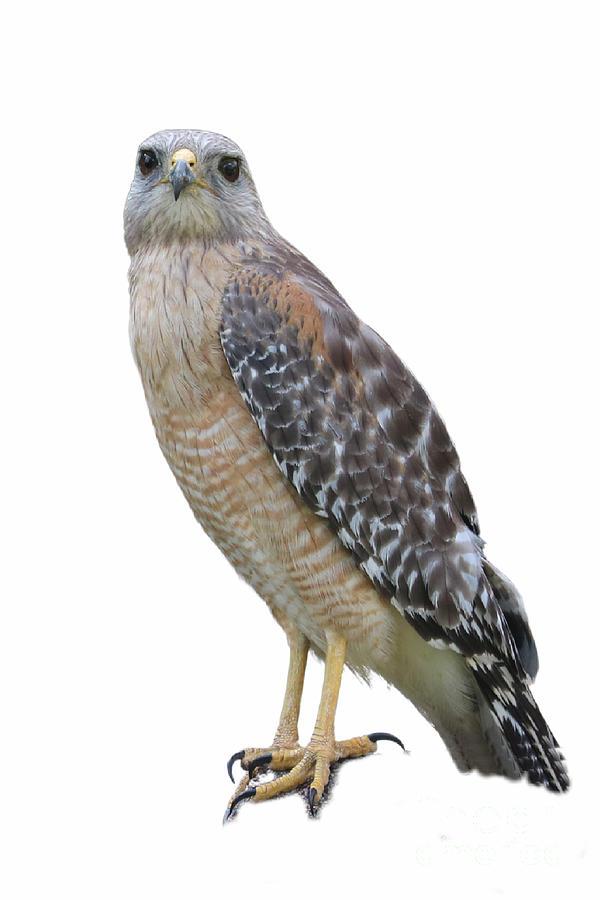 Red Shouldered Hawk Portrait Photograph