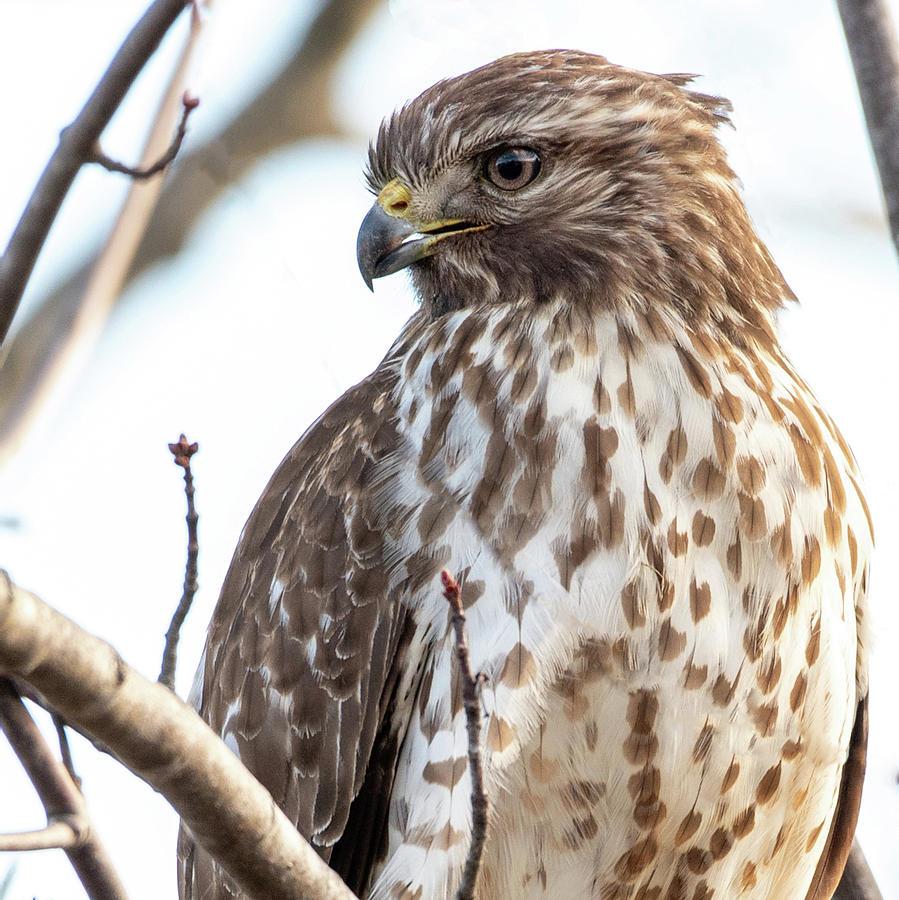 Red Shouldered Hawk Profile 1 by Lara Ellis
