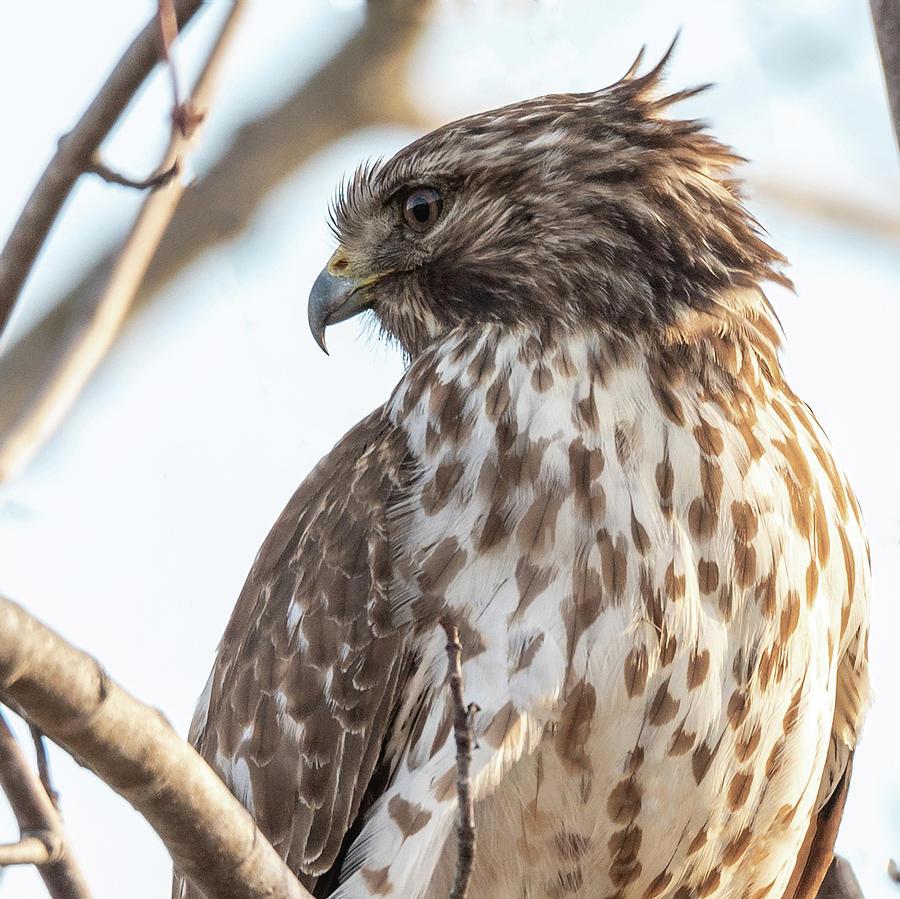 Red Shouldered Hawk Profile 2 by Lara Ellis