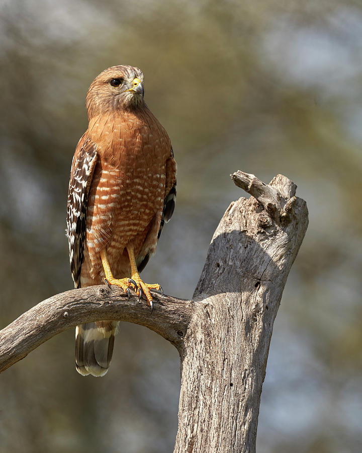 Birds Photograph - Red-shouldered Hawk, Sacramento County California by Doug Herr
