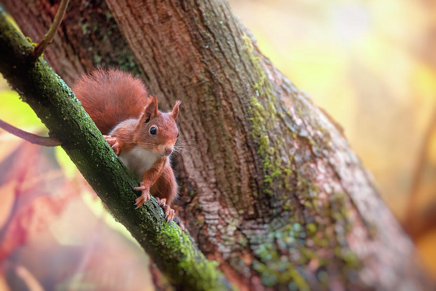 Red Squirrel Photograph