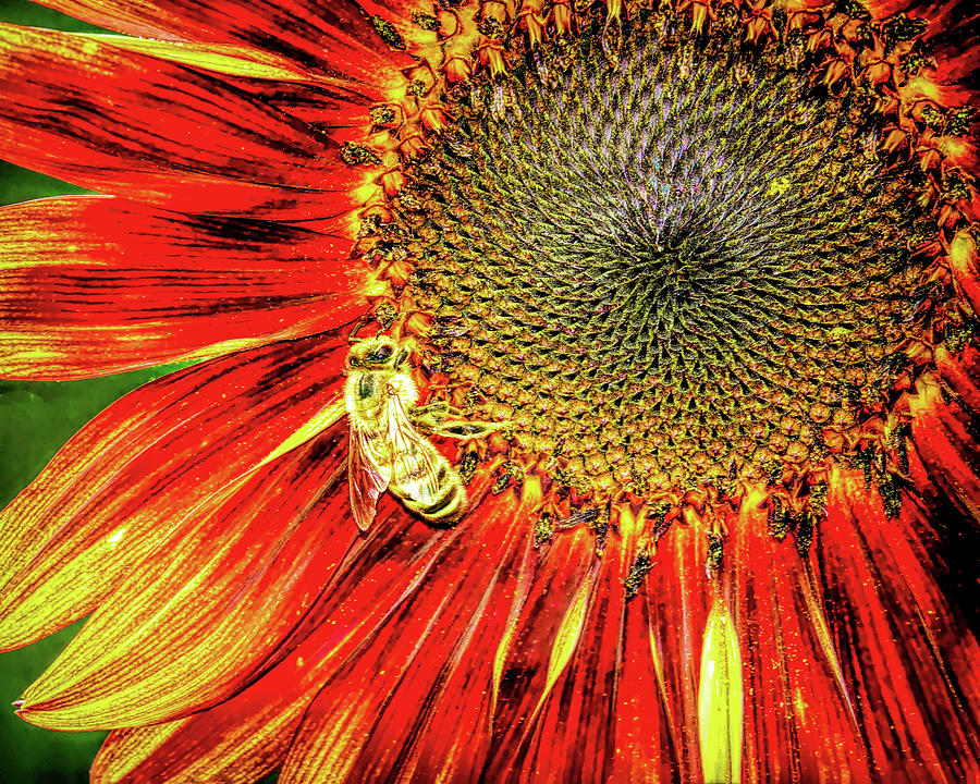 Red Sunflower And Honey Bee Photograph