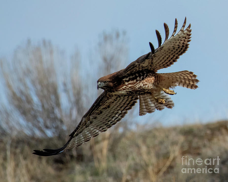 Red-Tail Glide by Mike Dawson