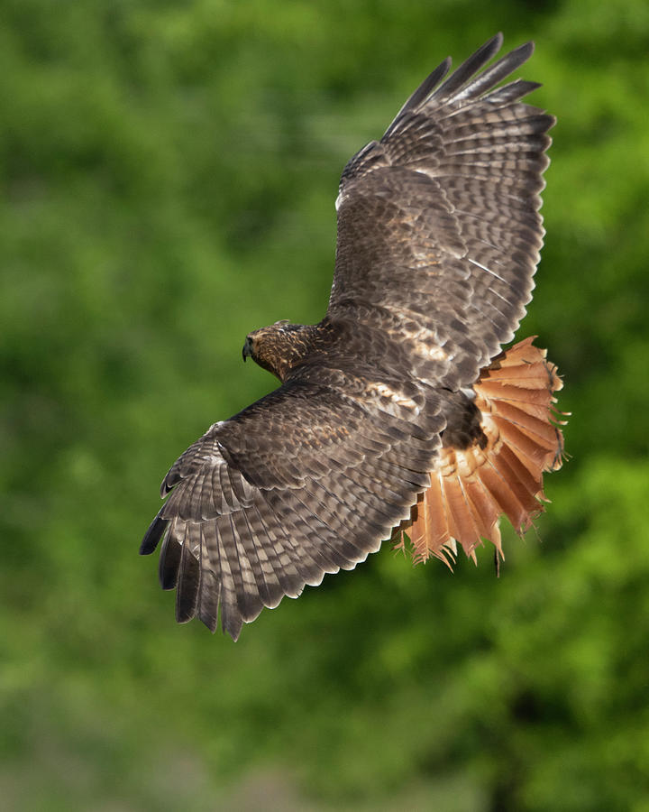 Red Tailed Hawk In Flight Photograph