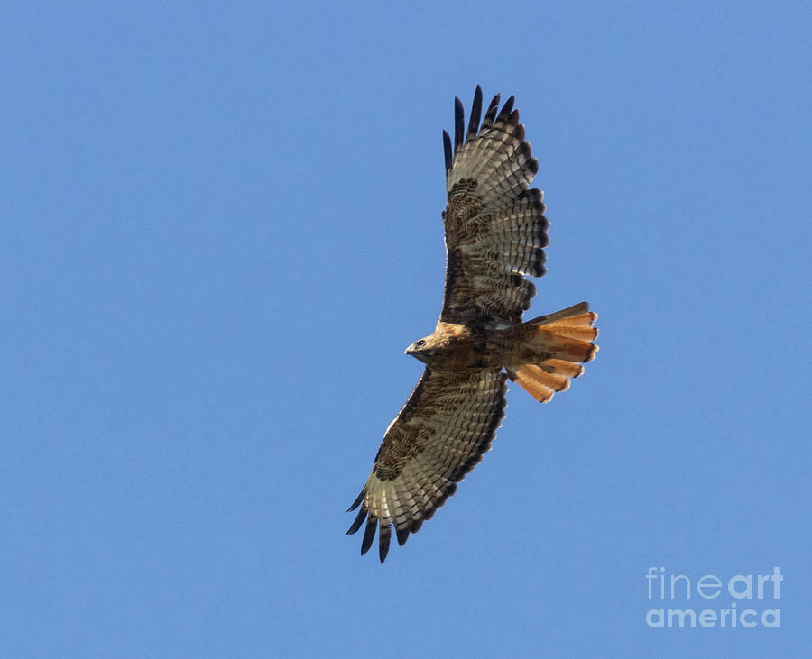 Red-tailed Hawk In Flight Photograph
