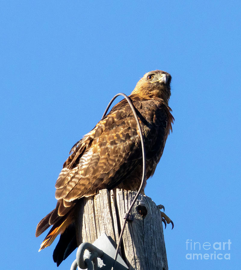 Red-tailed Hawk On A Perch Photograph