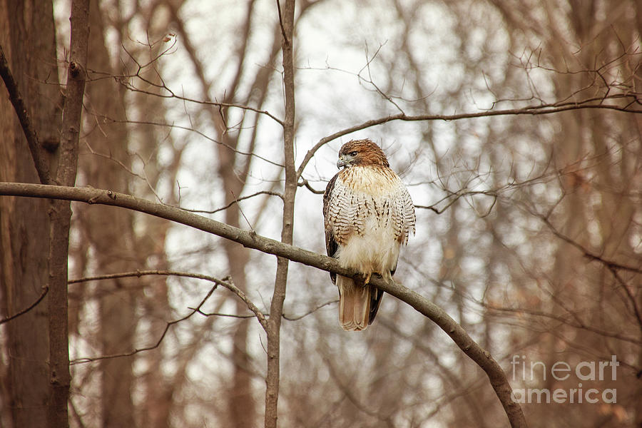 Red Tailed Hawk On Winter Watch by Sharon McConnell