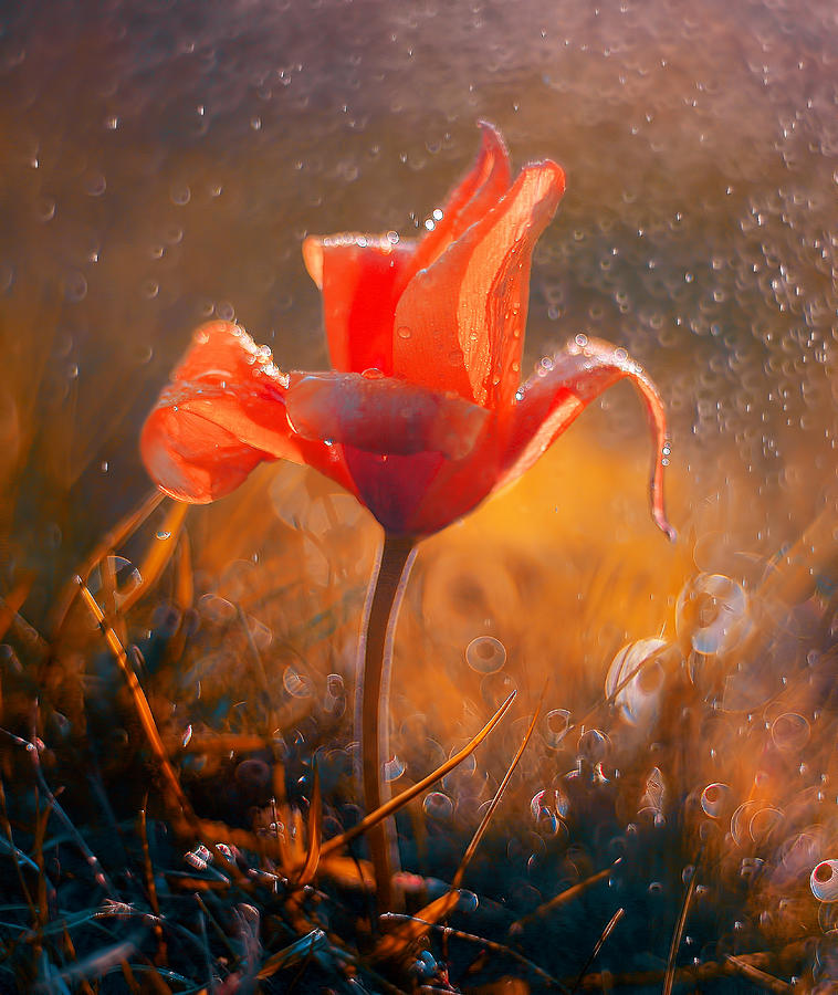 Red Tulip Tubergens Variety In Splashes Of Water Photograph