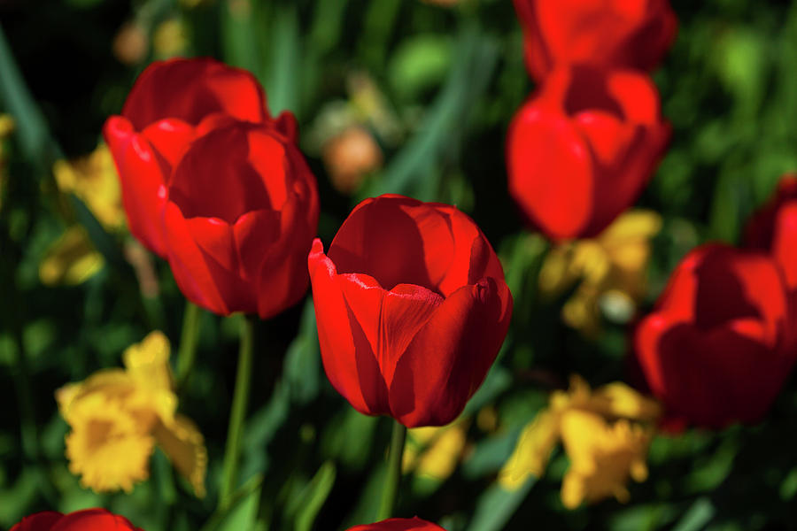 Red Tulips In The Garden Photograph