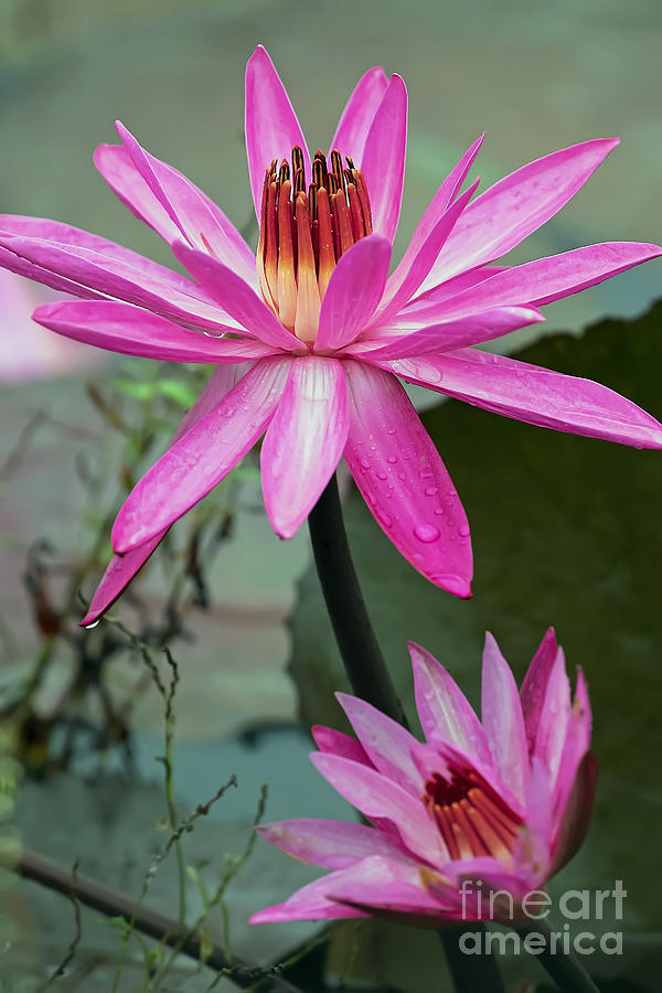 Red Water Lily Pair, leaning left by Banyan Ranch Studios
