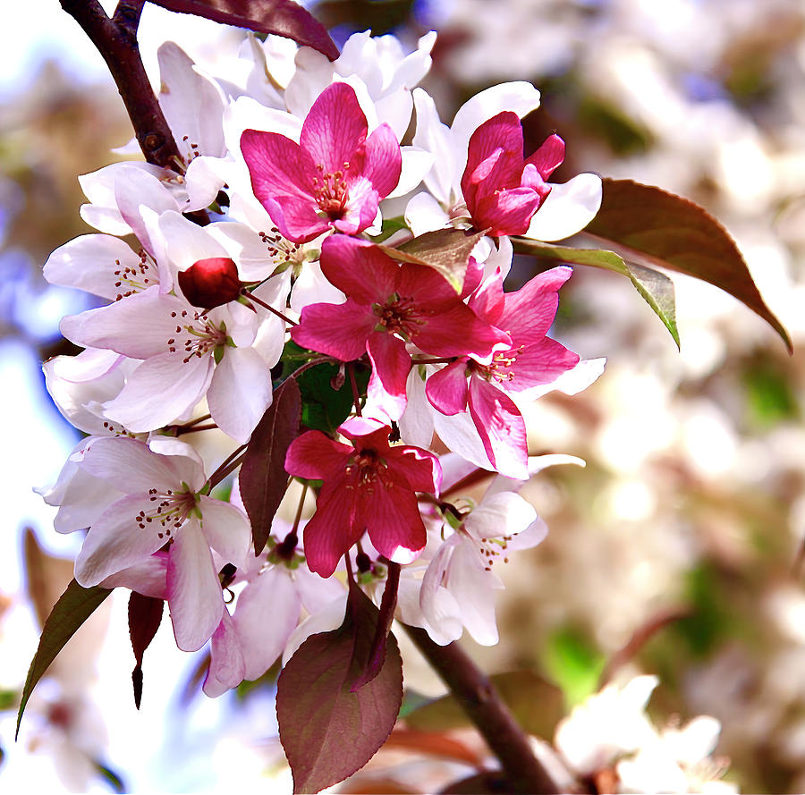 Red White Blossoms Photograph