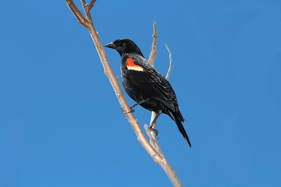 Red-winged Blackbird Male Photograph